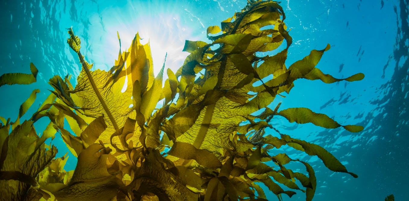 alghe biocarburante