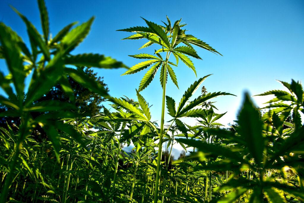 La Sostenibilità energetica della Cannabis